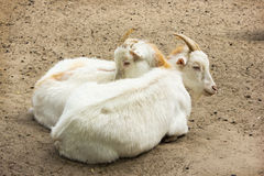 Two young goats rest on the sand Stock Image