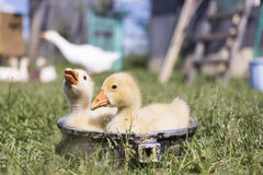 Two young goose bathe in a bowl in good weather in summer Stock Photos