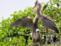 Two young great blue herons with little bird Royalty Free Stock Photography