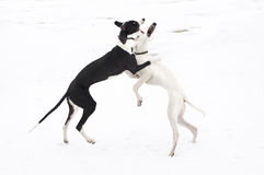 Two young greyhounds play Royalty Free Stock Image
