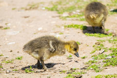 Two young greylag geese Royalty Free Stock Photography