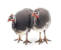 Two young guinea fowl. On a white background stock photo