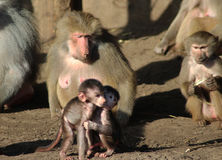 Two young Hamadryas baboon Stock Images