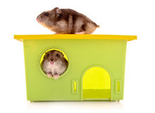 Two young hamsters with house  isolated Stock Image