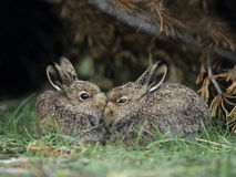 Two young hares sitting by bush Stock Photo