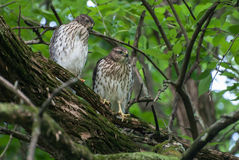 Two young hawks. Two young hawk sitting on a tree branch Royalty Free Stock Photo