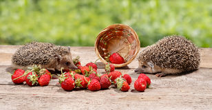 Two young hedgehogs Atelerix albiventris near the overturned basket of strawberries looks at each other Royalty Free Stock Photography