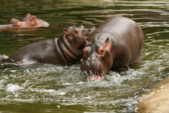 Two young hippo's playing in the water Stock Photos