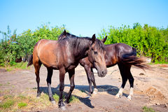 Two young horses on background of rural landscape Royalty Free Stock Photography