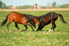 Two young Horses fighting Stock Photos