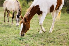 Two young horses graze in a green meadow royalty free stock images
