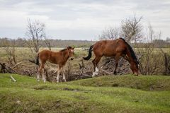 Two young horses grazing in the pasture. royalty free stock images