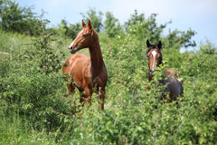 Two young horses hiding behind some bushes Royalty Free Stock Photography