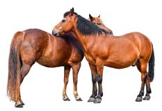 Two young horses isolated on white background. Couple of two brown horses full length close up Stock Image