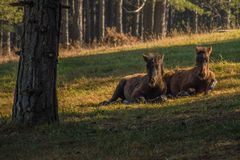 Two young horses laying on the grass stock photo