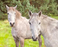 Two young horses on the pasture Royalty Free Stock Image