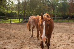Two young horses on the pasture Stock Photography