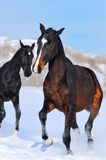 Two young horses playing on the snow field Royalty Free Stock Photos