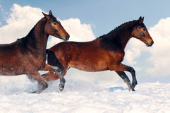 Two young horses playing on the snow field Stock Image