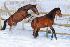 Two young horses playing on the snow field Royalty Free Stock Images