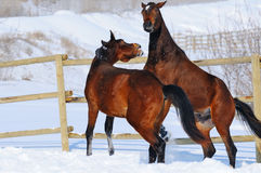 Two young horses playing on the snow field Stock Images