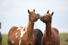 Two young horses playing together on pasturage Royalty Free Stock Photography