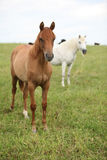Two young horses standing on pasturage Royalty Free Stock Photo