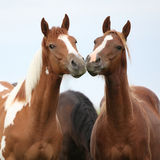 Two young horses together on pasturage Royalty Free Stock Images