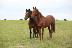 Two young horses together on pasturage Stock Photography
