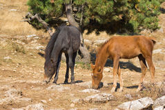 Two young horses is trying to find some food Royalty Free Stock Image
