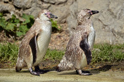 Two young Humboldt penguins Royalty Free Stock Image
