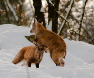 Two young Ibex. Play fighting in the snow Stock Images