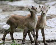 Two young ibex playing Stock Photos