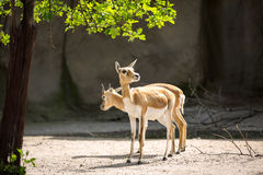 Two young impala Stock Photography
