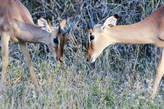 Two young Impala males Stock Photo