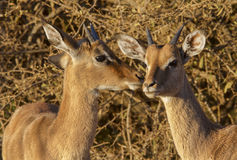 Two young impala in nice morning light Royalty Free Stock Photography