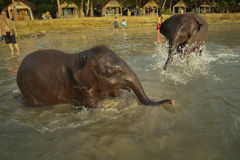 Two young Indian elephants bathing in the lagoon. Of Koh Chang island of Koh Chang island in Thailand royalty free stock image