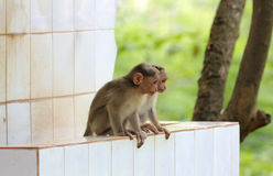 Two young indian rhesus macaque monkeys (macaca mulatta) playing Stock Photos