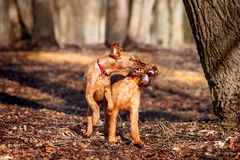 Two young Irish Terrier playing with each other. In the Park stock photo