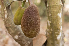 Two Small Jack Fruit on the Tree in Cambodia, Asia Royalty Free Stock Photography