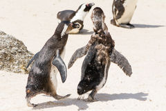 Two young jackass penguins playing wild Stock Image