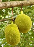 Two young jackfruits. Royalty Free Stock Photography