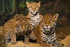 Jaguar Family. Two young Jaguar Cubs with their mother Royalty Free Stock Photo
