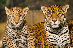 Jaguar Family Stock Images