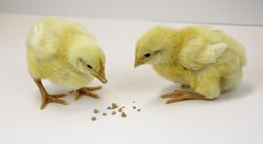 Two young chicks peck at feed Royalty Free Stock Image