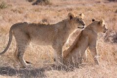 Two young juvenile male lions watching prey. Portrait of two young juvenile male lions watching prey Stock Image