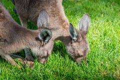 Two young kangaroo Stock Image