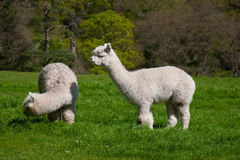 Two Young Lama Royalty Free Stock Photo
