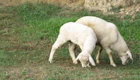 Young lamb. Two young lamb eating juicy grass on a green lawn royalty free stock photos