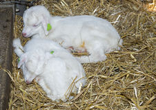 Two young lamb goat Royalty Free Stock Photos